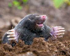 mole2